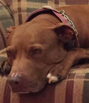 Lost Pit Bull in Browns Mills, NJ US