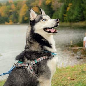 Safe Siberian Husky in Woodside, NY US