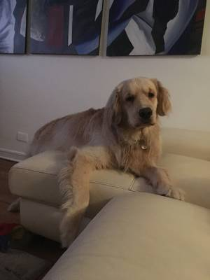 Lost Golden Retriever in East Stroudsburg, PA US