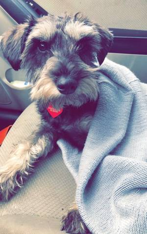 Safe Miniature Schnauzer in Knoxville, TN US