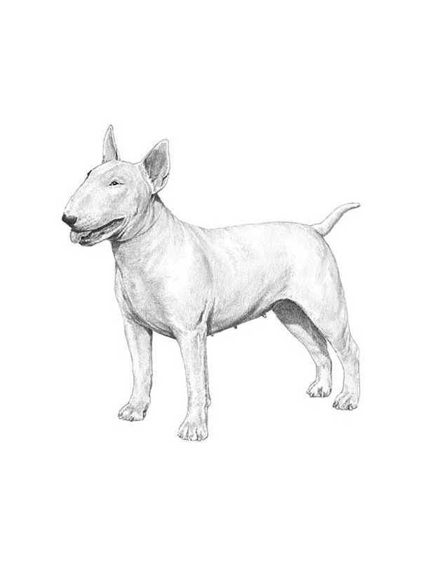 Lost Bull Terrier in Tampa, FL US