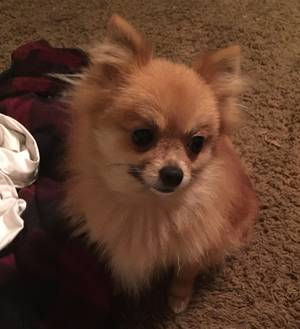Lost Pomeranian in Lakeside, CA US
