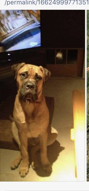 Safe Bullmastiff in Pearl River, NY US