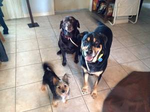 Lost Rottweiler in Miami, FL US