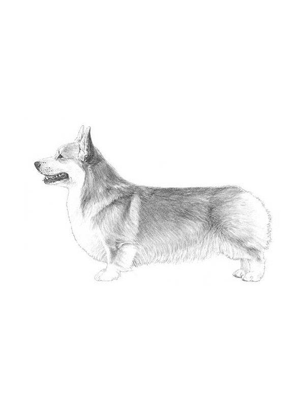 Lost Pembroke Welsh Corgi in Burbank, CA US