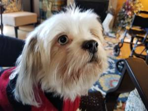 Lost Maltese in Portland, OR US