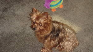 Stolen Yorkshire Terrier in Santa Ana, CA US