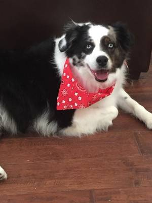 Safe Australian Shepherd in Allen, TX US