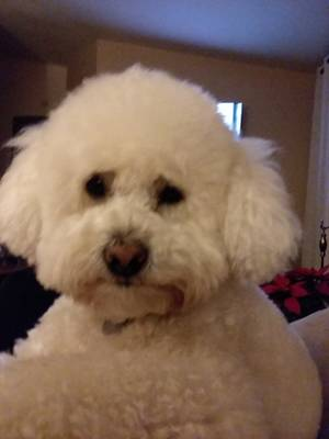 Lost Poodle in Riverside, CA US