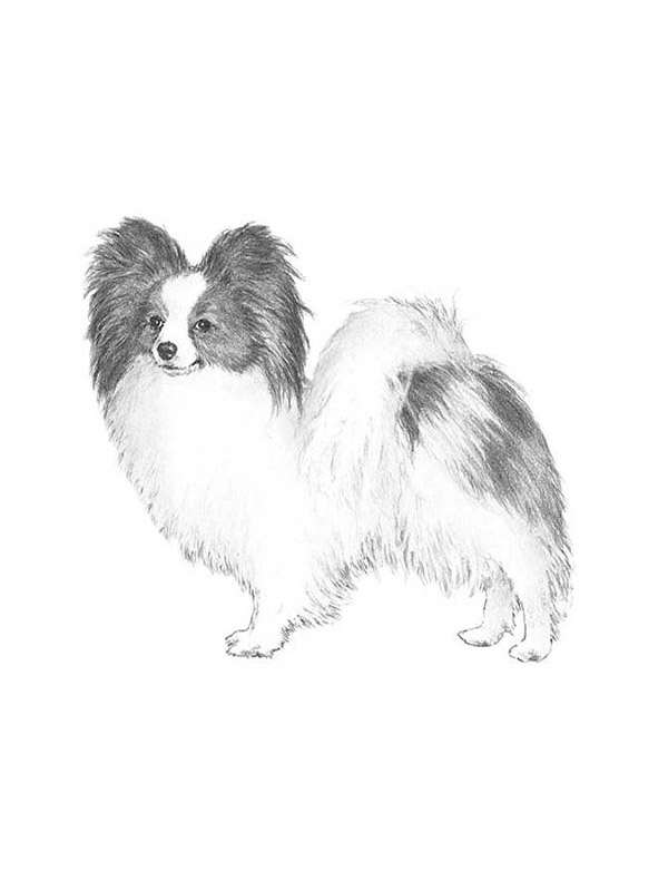 Lost Papillon in Bothell, WA US