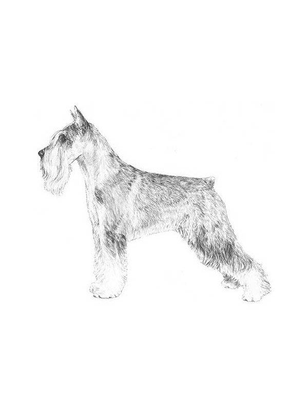Lost Standard Schnauzer in Houston, TX US