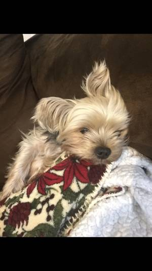 Lost Yorkshire Terrier in Coral Springs, FL US