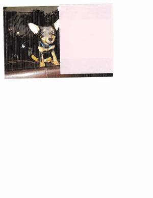 Stolen Chihuahua in Lakewood, CA US