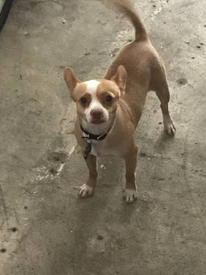 Stolen Chihuahua in Houston, TX US