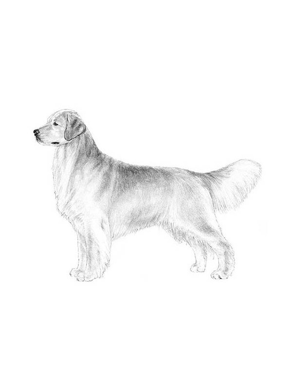 Lost Golden Retriever in Horsham, PA US