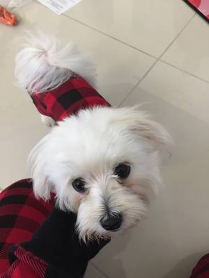 Lost Maltese in Windermere, FL US