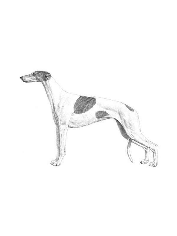 Lost Greyhound in Memphis, TN US
