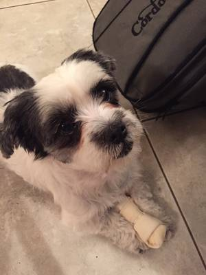 Safe Shih Tzu in Hollywood, FL US