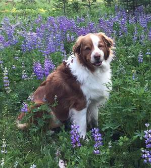 Lost Australian Shepherd in Lakewood, WA US