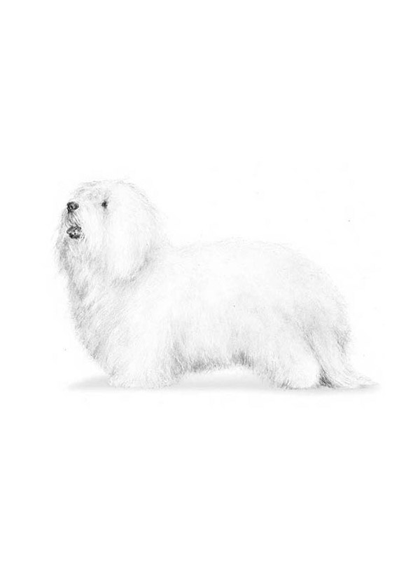 Lost Coton de Tulear in Palm Beach Gardens, FL US