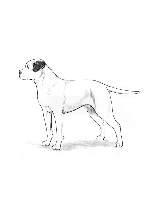 Lost American Bulldog in Bakersfield, CA US