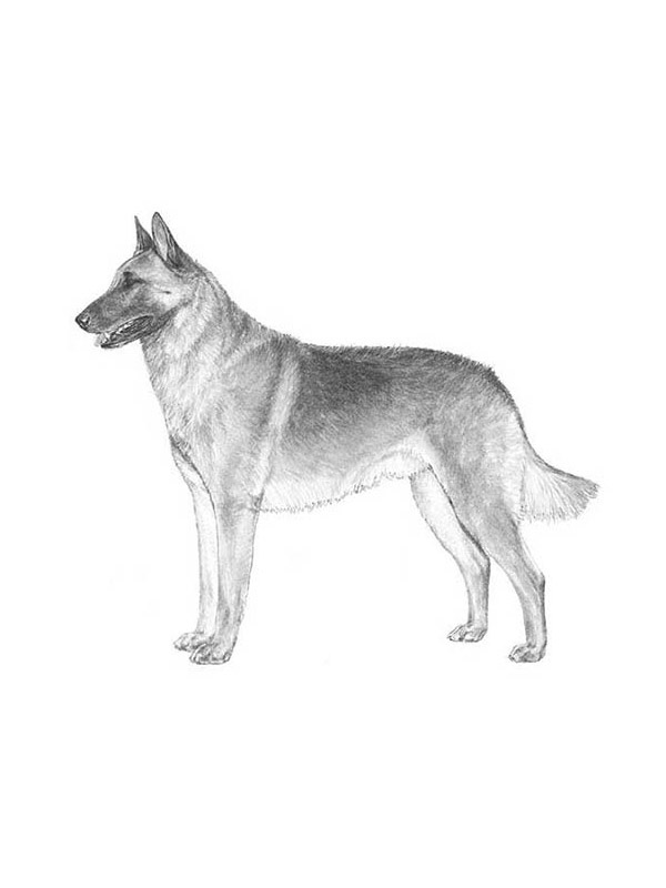 Lost Belgian Malinois in Shoshone, CA US