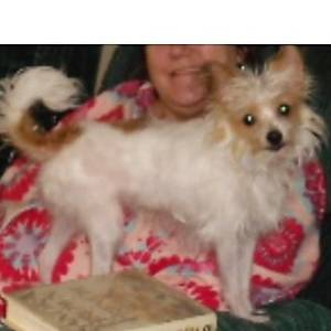 Lost Toy Fox Terrier in Miami, FL US