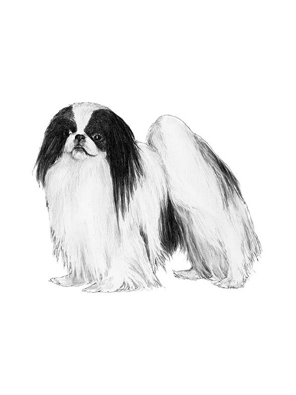 Safe Japanese Chin in Spring Hill, FL US