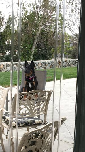 Safe German Shepherd Dog in Rancho Cucamonga, CA US