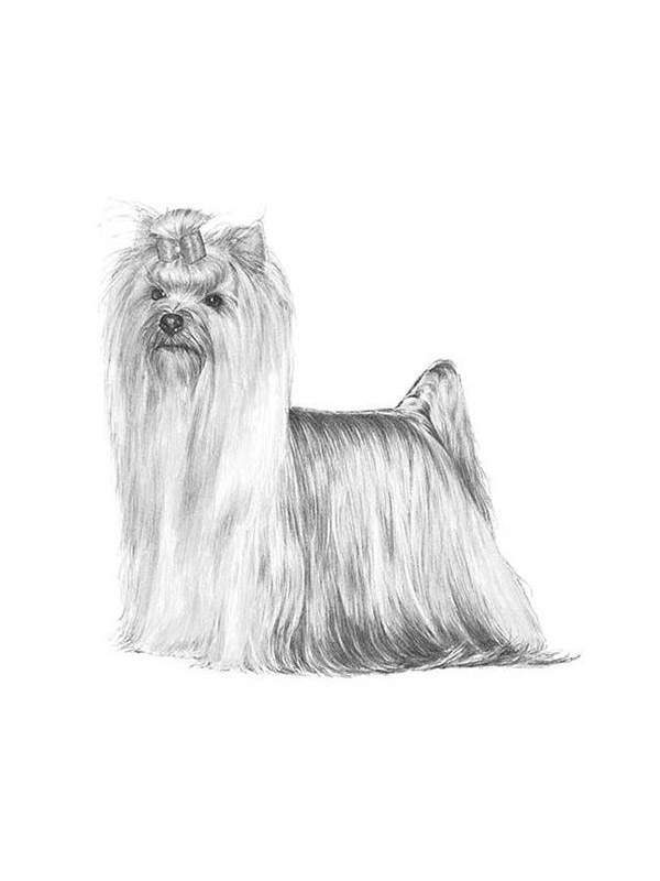 Lost Yorkshire Terrier in Costa Mesa, CA US