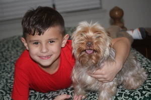 Safe Yorkshire Terrier in Plano, TX US