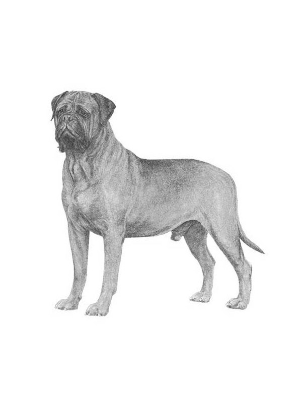 Lost Bullmastiff in Tampa, FL US
