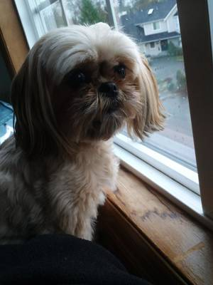Safe Shih Tzu in Bothell, WA US