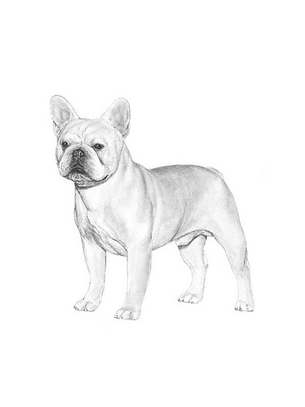 Lost French Bulldog in Mojave, CA US