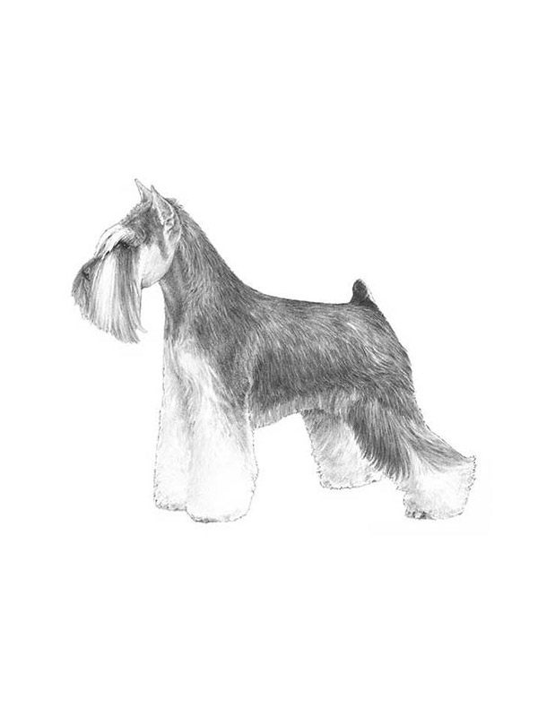 Lost Miniature Schnauzer in Winnetka, CA US