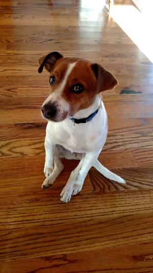 Safe Jack Russell Terrier in Signal Mountain, TN US