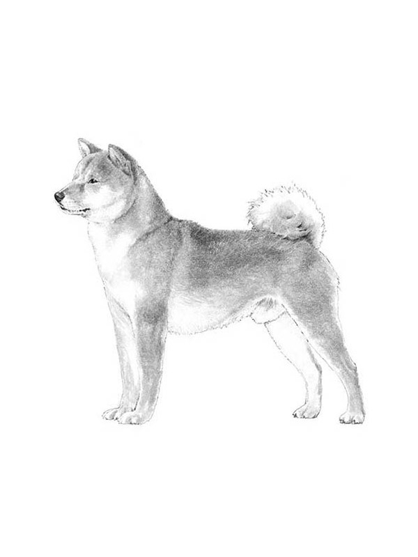 Lost Shiba Inu in West Chester, PA US