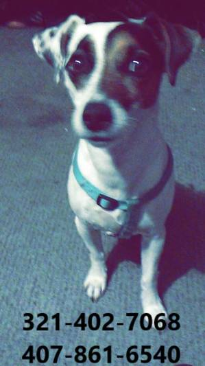 Lost Jack Russell Terrier in Kissimmee, FL US