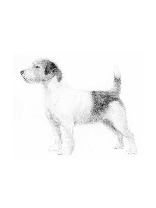 Lost Jack Russell Terrier in Sun Valley, CA US