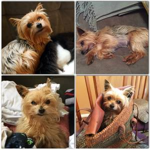 Safe Yorkshire Terrier in Seattle, WA US