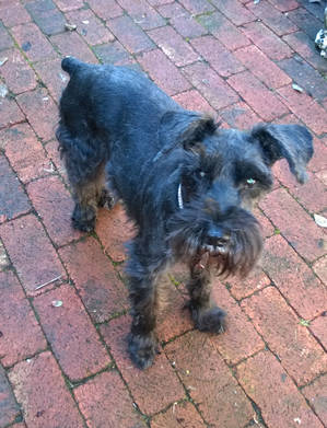 Found Standard Schnauzer in Seattle, WA US