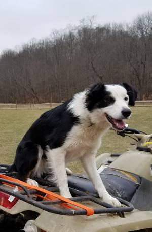 Stolen Border Collie in Newton, NJ US