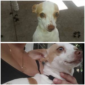 Safe Chihuahua in Deland, FL US