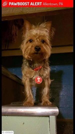 Safe Yorkshire Terrier in Allentown, PA US