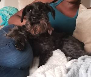 Safe Miniature Schnauzer in Denton, TX US