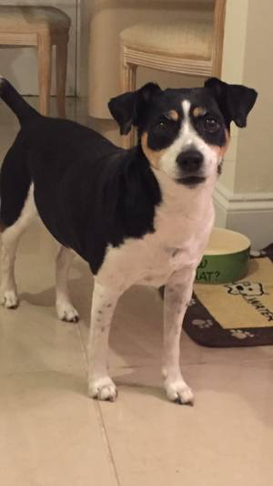 Safe Rat Terrier in Fort Lauderdale, FL US