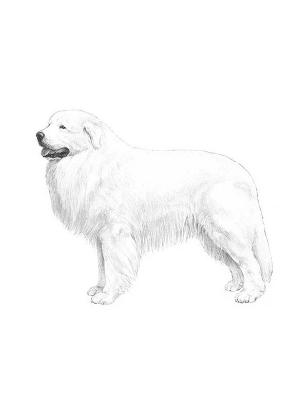 Lost Great Pyrenees in Bunola, PA US