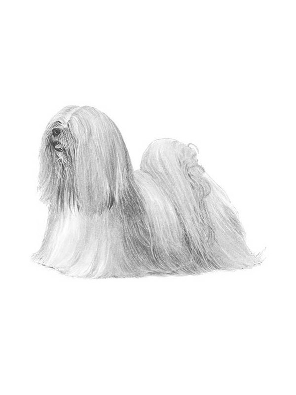 Lost Lhasa Apso in Sunbury, PA US