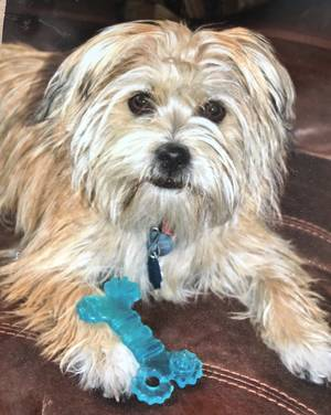 Lost Cairn Terrier in New Smyrna Beach, FL US