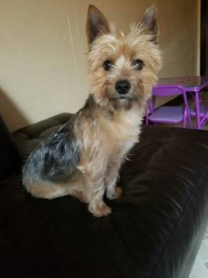 Lost Yorkshire Terrier in Lancaster, PA US